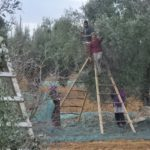 Cueillette Des Olives en Tunisie
