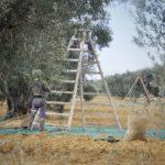 Cueillette des olives à la main