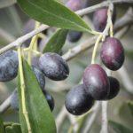 Olives Chemlali Biologiques